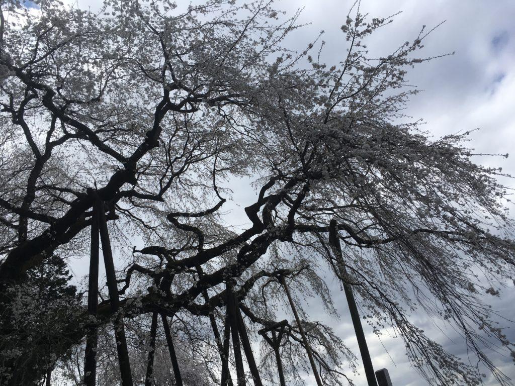 たくさんの添え木に支えられ、そびえ立つしだれ桜