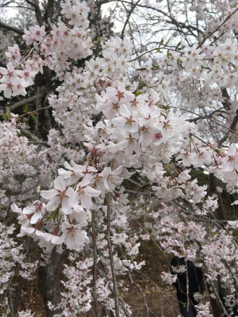 満開のしだれ桜です!