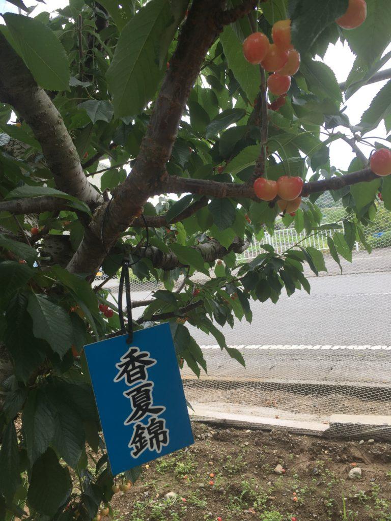 香夏錦という品種のさくらんぼの写真